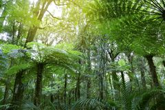 Tree ferns in jungle. Tree ferns in tropical jungle Stock Image
