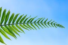 Tree ferns leaf in blue sky Stock Photos