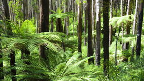 Tree Ferns. Lush green ferns, tree ferns and towering mountain ash along the Black Spur, Victoria stock footage
