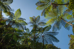 Tree ferns Stock Photography