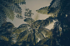 Tree ferns Royalty Free Stock Photo