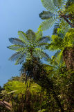 Tree ferns Royalty Free Stock Image