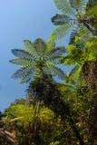Tree ferns Royalty Free Stock Image