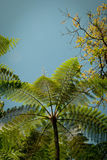 Tree ferns Royalty Free Stock Images
