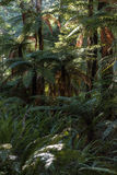 Tree ferns in rainforest Royalty Free Stock Photos
