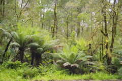 Tree ferns in rainforest. Growing tree ferns on rainy day in Australian rainforest in Otway National Park, Southern Australia royalty free stock image