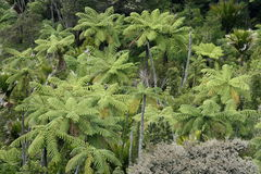 Tree ferns in rainforest Stock Photo