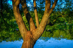 Tree with few stems in sunlight near pond Royalty Free Stock Photos
