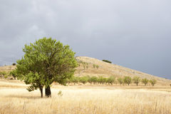 Tree in the field. Isolated tree in the middle of the field Stock Photography