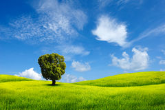 Tree on field. Alone tree on grass field royalty free stock images