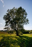Tree in field. Large Birch tree in a field stock photos