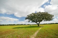 Tree in the field royalty free stock image