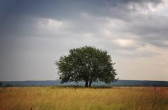 Tree in a field. By cloudy weather Royalty Free Stock Image