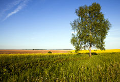 Tree in the field Royalty Free Stock Images