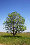 Tree of the field Royalty Free Stock Photos