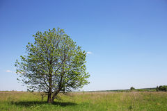 Tree of the field Royalty Free Stock Images