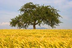 Tree in field. Tree in middle of a beautiful yellow grain field Stock Photo