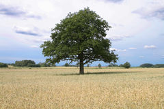 Tree in field Stock Image