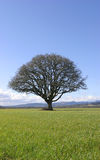 Tree in Field. Isolated oak tree in grassy field with blue sky Royalty Free Stock Photo