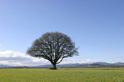 Tree in Field Royalty Free Stock Photos