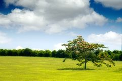 Summer day. A lone tree in a grassy field on a summer day stock images