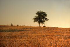 Tree in the Field. Lone Tree in a field at dusk Royalty Free Stock Photography