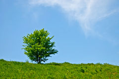 Tree in a field. In summer against a blue sky Stock Photography