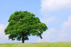 Tree in a field against a blue sky Stock Image