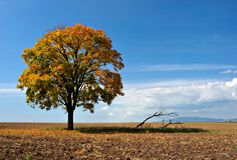 Tree in field in autumn. A picture of a lone tree in a field, casting a shadow over some dead branches. The field and tree is golden from autumn leaves Stock Photo