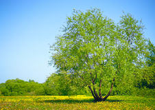 Tree in the field Stock Photography