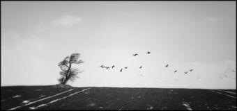 Tree field and birds. Birds migrating, black fields and baren tree royalty free stock photo