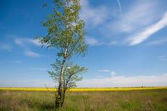 Tree. In the field blue sky birch Stock Image