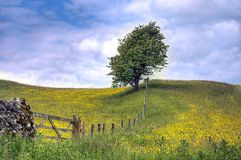 Tree in field of Buttercups Royalty Free Stock Images