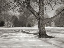 Tree and Field BW. This is a detailed black and white shot of a shapely detailed tree stock photo