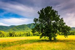 Tree in a field at Cade's Cove, Great Smoky Mountains National P Stock Photos