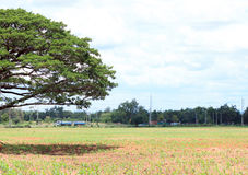 Tree on the field and cloud background.In the noon time. Stock Photos