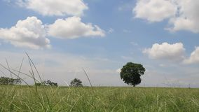 Tree in field. Tree in field, clouds running and blue sky background stock footage