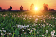 Tree in a field with dandelions Stock Image