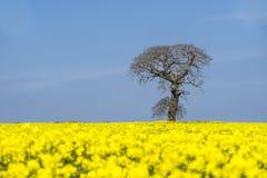 Tree in a field of flowering oil seed rape Royalty Free Stock Photo