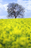 Tree in a field of  flowers. I found this tree on a hill in northern France. The flowers were still wet and so was I after taking the picture - with focus on the Royalty Free Stock Images