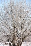 Tree in the field. Frost. Royalty Free Stock Image