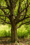 Tree in field with grass Royalty Free Stock Image