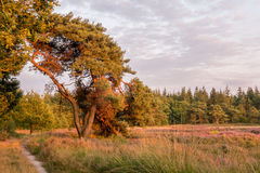 Tree by field of heather in sunset light Royalty Free Stock Photos