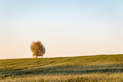 Tree on field horizon under blue sky. Landscape in morning light Stock Photography