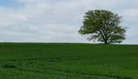 Tree in field Royalty Free Stock Photo