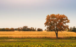 Tree on the field. Lonely tree on the autumn field Stock Photography