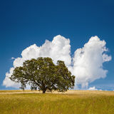 Tree in Field. Lonely tree on farm field with blue sky and fluffy clouds royalty free stock photo