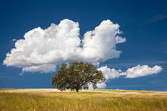 Tree in Field. Lonely tree on farm field with cloudy sky royalty free stock image