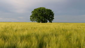 Tree in a field. Lonely tree, on a wheat field, at sunset. Selective focus stock video footage