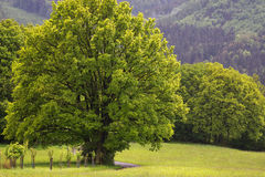 Tree in field or meadow Royalty Free Stock Image